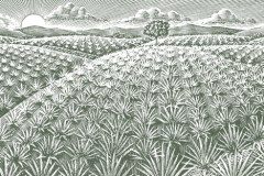 Agave-Fields