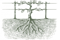 Grapevine roots