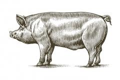 Pig woodcut