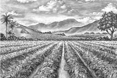 Tobacco_fields