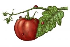 Tomato on Vine