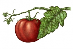 Tomato_on_the_vine