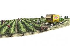 Vineyard_Harvest