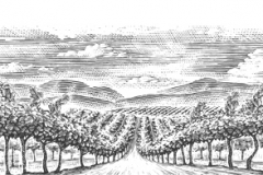 Vineyard_rows_2