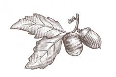 Acorns-art