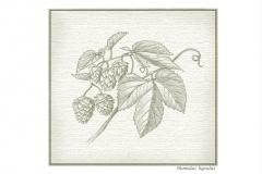 Botanical_Hops