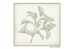 Botanical_Mandarin