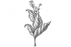 Brazilian_Tobacco_Leaf