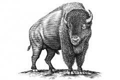Buffalo_Woodcut