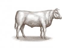 Bull_2