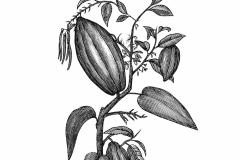 Cocoa Plant2