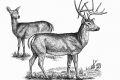 Deer Engravings