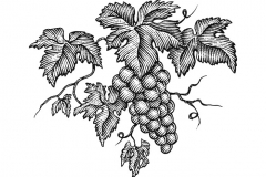 Grape on Vine