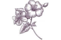 Hibiscus Apple Blossom