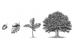 Oak-Tree-Growth
