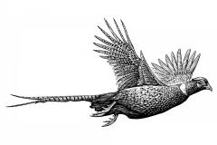 Pheasant-art1-