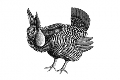 Prairie_Chicken
