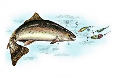 Rainbow_Trout_color