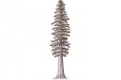 Redwood_Tree