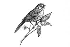 Robin_Bird