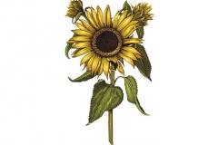 Sunflower-art