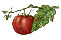 Tomato- on Vine