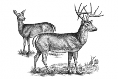 Whitetail-Deer