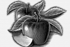Apples Woodcut