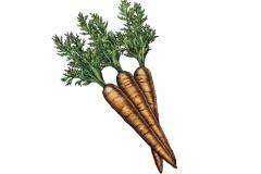 Carrots-art-color
