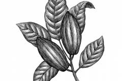 Cocoa Plant
