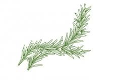 Rosemary_branch