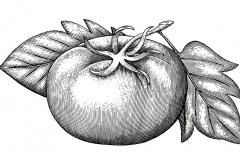 Tomato Woodcut