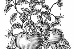 Tomatoes vine art