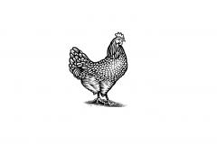 Chicken Cod