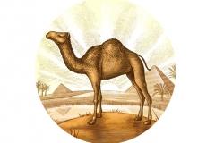 Desert-Camel_2