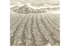 Tobacco_Harvest