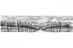 Vineyard rows 2