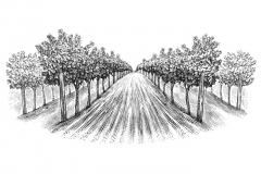 Vineyard_Rows_4