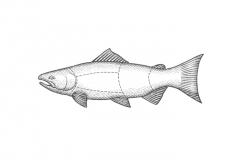 Salmon-art