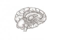 Brain_Cutaway