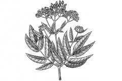 Elderberry-art