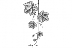 Grapevine_leaves