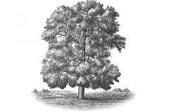 Large_Oak_Tree