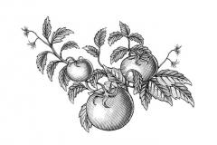 Tomato-vine-final-art-3