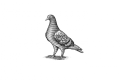 Pigeon_Icon_art