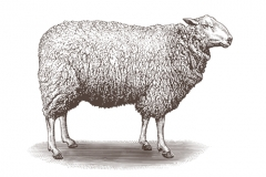 Sheep-art