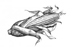 Ear_of_Corn